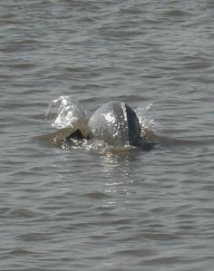 Gangetic Dolphin Platanista gangetica