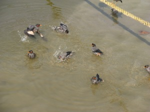 Ducks snorkeling in Ganga (The Ganges) ©NitinKaushal/WWF-India